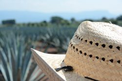 afternoon-in-an-agave-plantation-at-tequila-jalisc-MH43R5H
