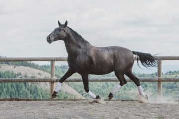 Estrela 2021 - cheval PSL noir
