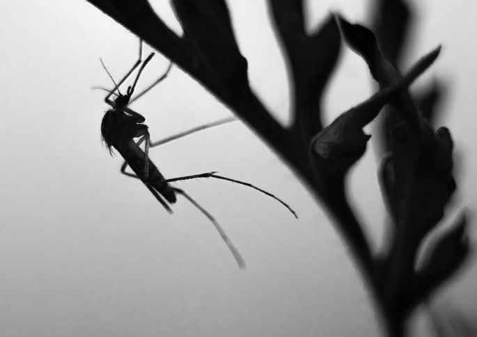 a silhouette of a mosquito