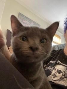 Lighter gray cat