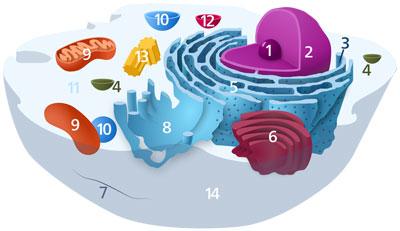 Schematisk bild av en typisk djurcell som visar subcellulära komponenter. Organeller: (1) nukleol, (2) cellkärna, (3) ribosom, (4) vesikel, (5) grovt endoplasmatiskt retikulum (ER), (6) golgiapparaten, (7) cytoskelett, (8) slätt ER, (9) mitokondrie, (10) vakuol, (11) cytoplasma, (12) lysosom, (13) centriol och (14) cellmembran. Schema: Kelvinsong, Wikipedia, publicerad enligt CC0 1.0.