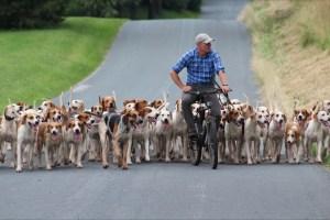 mfha-legging-up-hounds-