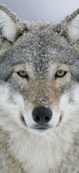 19 Wolf Apple/iPhone X 1125x2436 Wallpapers Mobile Abyss