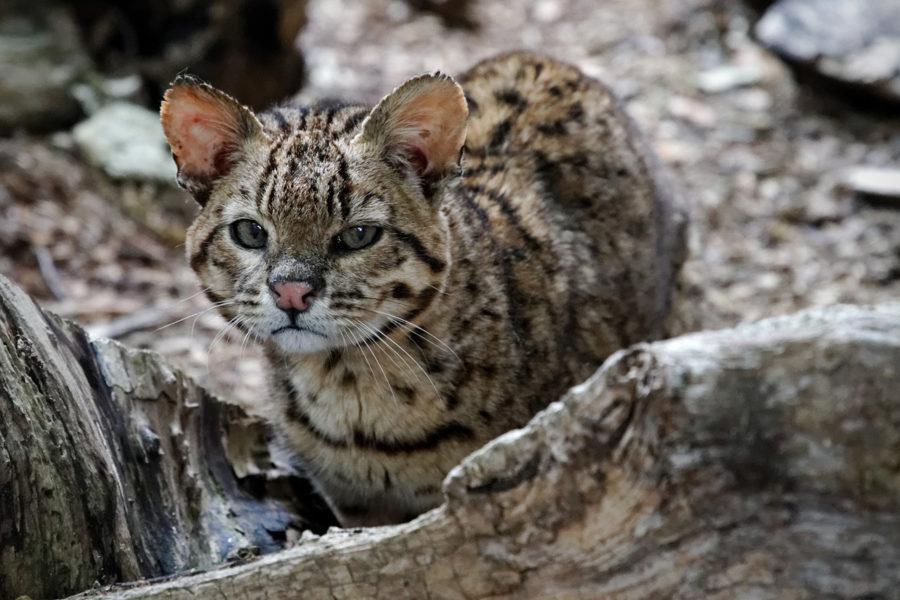 Cat Joffwru