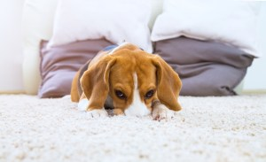 Long Beach carpet cleaning experts can help you remove all pet stains and odors from your carpet.