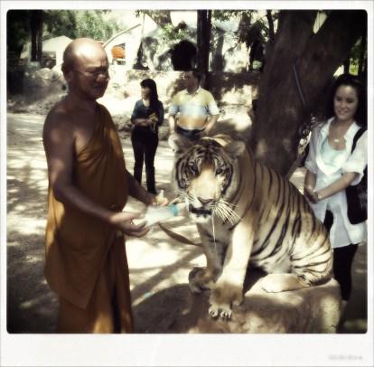 Tiger temple - thailand