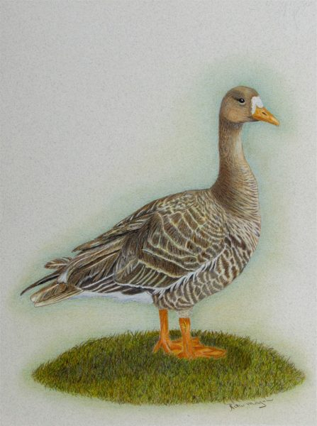 2017 – Greater White Fronted Goose