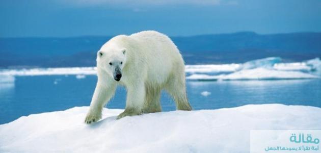 نبذه عن تكيف الدب القطبي