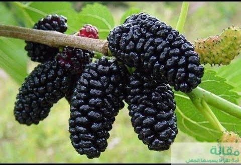فوائد فاكهة التوت الاسود