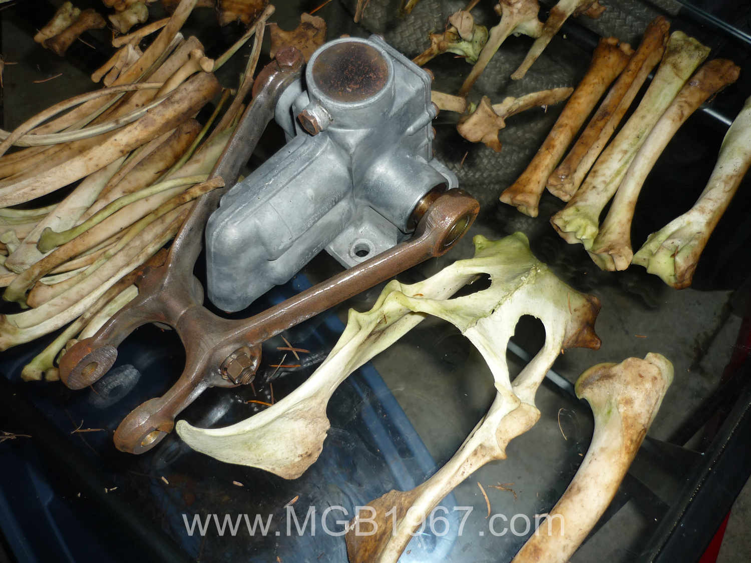 White tail deer bones