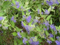 """Caryopteris x clandonensis"" by Christa Watters"