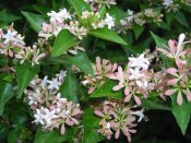 Chinese abelia (Abelia chinensis) Photo © 2016 Christa Watters