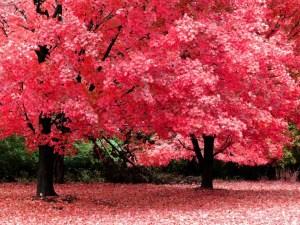autum_maple_trees_red11.jpg