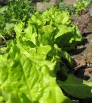Lettuce, waiting for its new neighbors