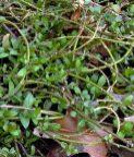 Stolons of native Phlox divaricata (woodland phlox) as a ground cover in fall at the demonstration Shade Garden, Bon Air Park, Arlington, Virginia. Photo © Mary Free