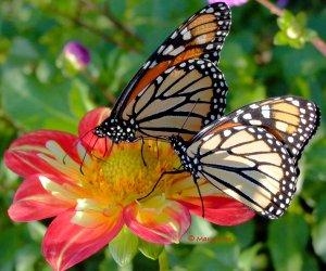 Monarchs on Dahlia