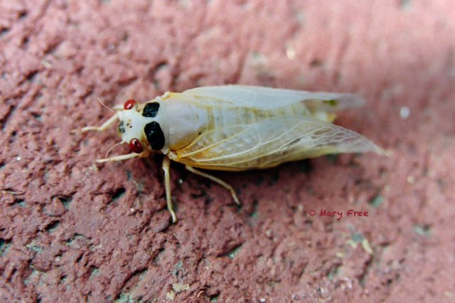 Newly emerged Brood X periodical cicada in May 2004. Copyright Mary Free.