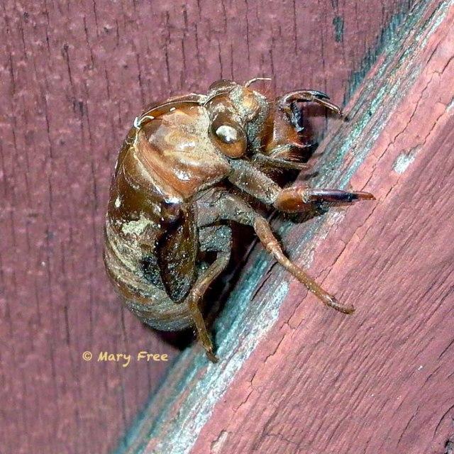 Dog-day cicada exoskeleton. Copyright Mary Free.