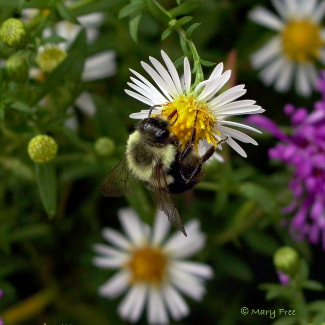Probably Bombus impatiens (common eastern bumble bee) on Boltonia asteroides (white doll's daisy). Copyright Mary Free