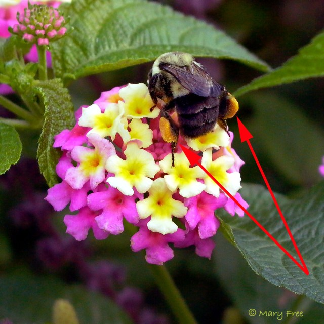 Probably B. impatiens on Lantana. Copyright Mary Free.