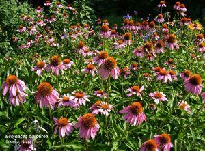 Echinacea purpurea: Mary Free