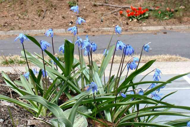 Siberian Squill, a gift from Captain Shepherd's yard where these beautiful blue flowers bloomed each spring.