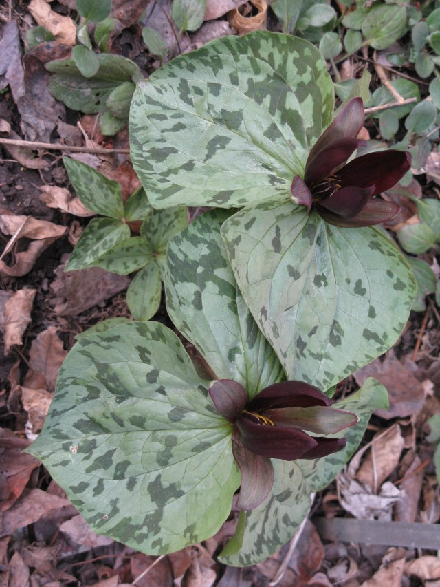 Sessile Trillium also called Toadshade found in the Woodland Shade Section of the Library Garden.