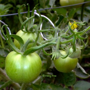 Moneymake Tomato. Photo: Mary Free.