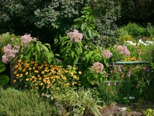July Sunny Garden with native perennials including Rudbeckia and Liatris (front) and Eupatorium spp. (Joe-Pye Weed) and white Phlox paniculata (behind). © Mary Free