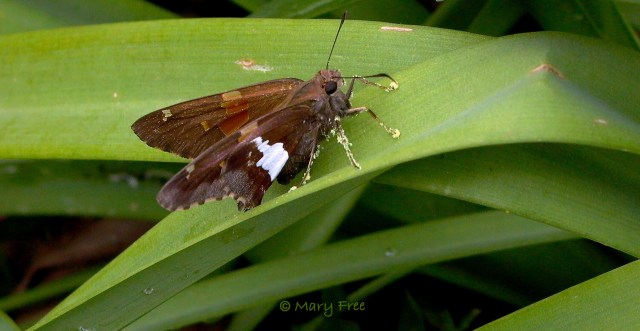 Silver-spotted skipper (Epargyreus clarus) covered with Oenothera pollen. © Mary Free