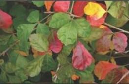 Fall leaves of Rhus aromatica ('Gro-Low,' Fragrant Sumac).