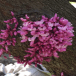 Cercis canadensis (Eastern Redbud) close-up in May. Photo © Dina Lehmann