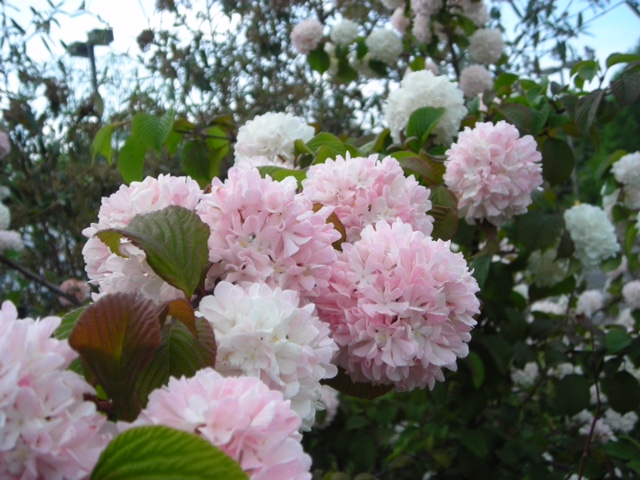 Close-up of pink viburnum