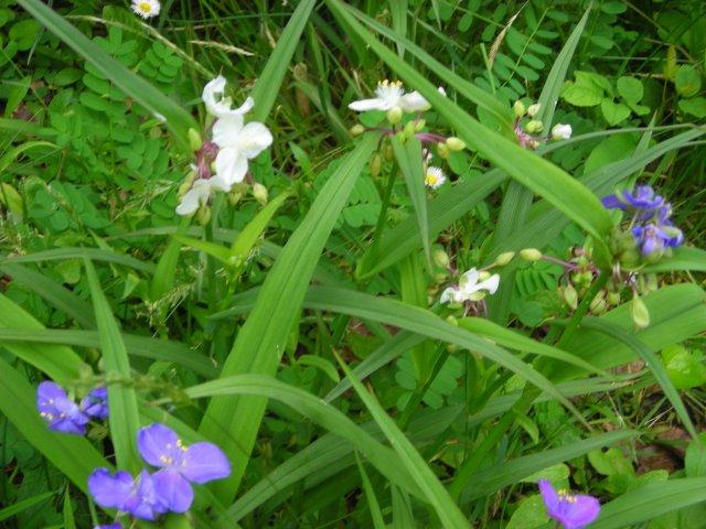 Tradescantia (Spiderwort