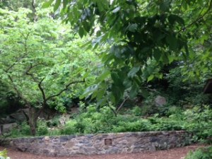 The Shade Garden's centrally-located native redbud (Cercis canadensis) tree.