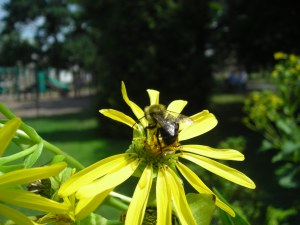 Cup plant (Silphium perfoliatum) with bee