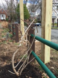The transplanted wisteria vine.