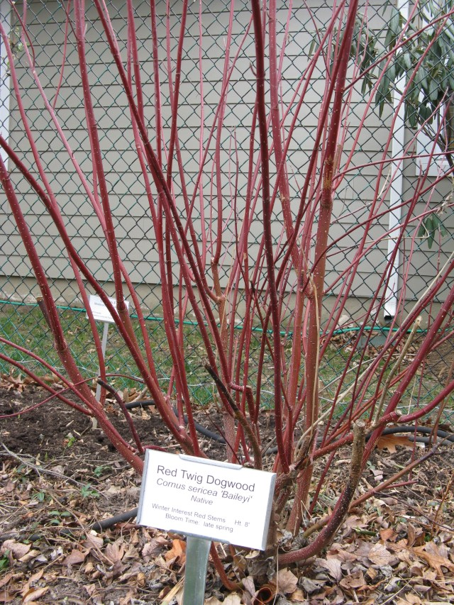 Red Twig Dogwood 'Baileyi