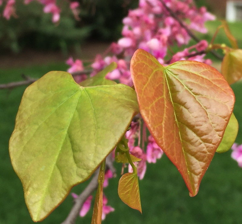 Cercis canadensis leaves in April. Photo © 2015 Elaine L. Mills
