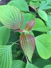 Cornus alternifolia Leaves