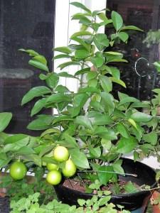 The Meyer Lemon Bush outdoors, fall 2016