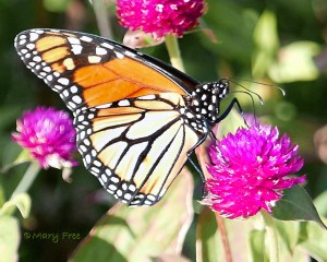 Gomphrena with Monarch