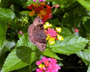 Duskywing Skipper on Lantana