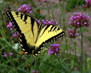 Verbena with Eastern Tiger Swallowtail (Male) from Creating Inviting Habitats