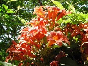 VINE: Bignonia capreolata
