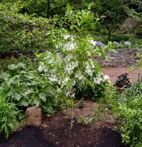 TREE: Chionanthus virginicus Image by Mary Free
