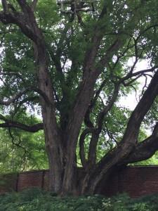 Osage Orange Tree (Maclura pomifera)