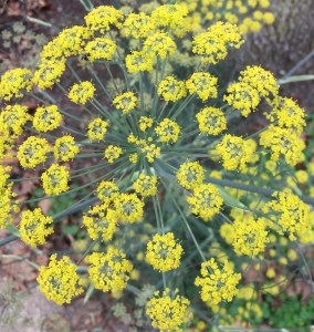 Fennel plant in bloom