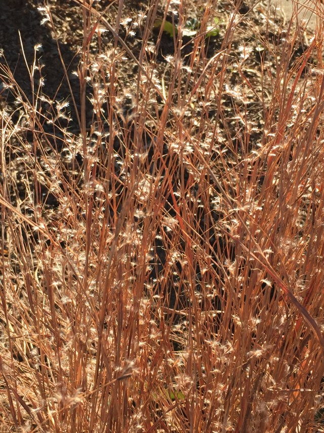 Fluffy seed heads of little bluestem glisten in December in the meadow at Meadowlark Botanical Gardens
