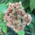 Detail of seed heads of Eutrochiumdubium(Eastern or Coastal Joe Pye Weed) Photo by Elaine L. Mills, 2017-09-28, private garden, Arlington, Virginia.